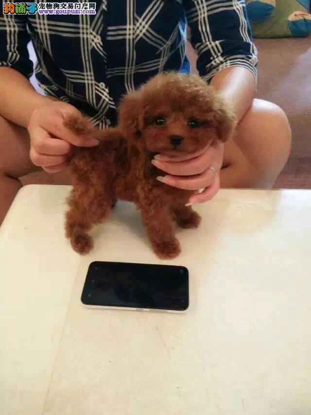 很袖珍的宠物狗是长不大的茶杯犬