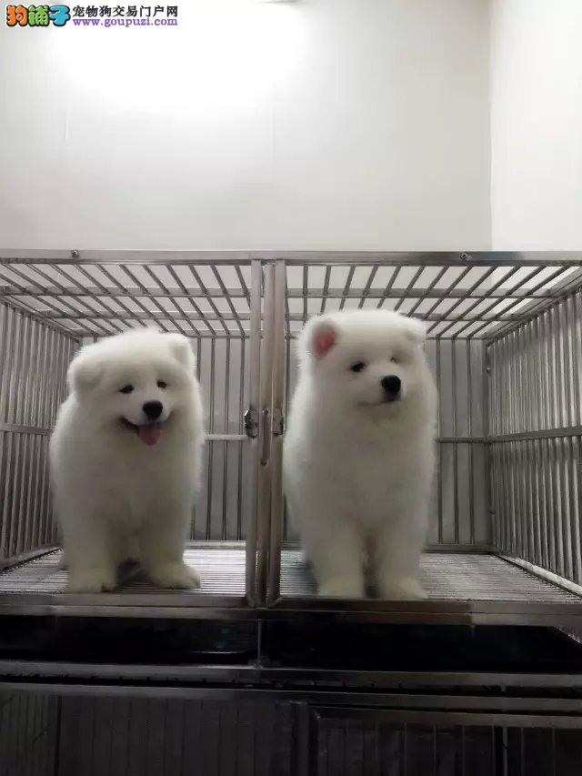 基地直销极品萨摩耶幼犬 保健康保纯种 签售后协议