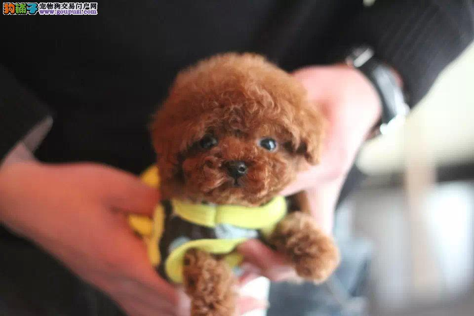 出售纯种茶杯犬,幼犬,品质保证