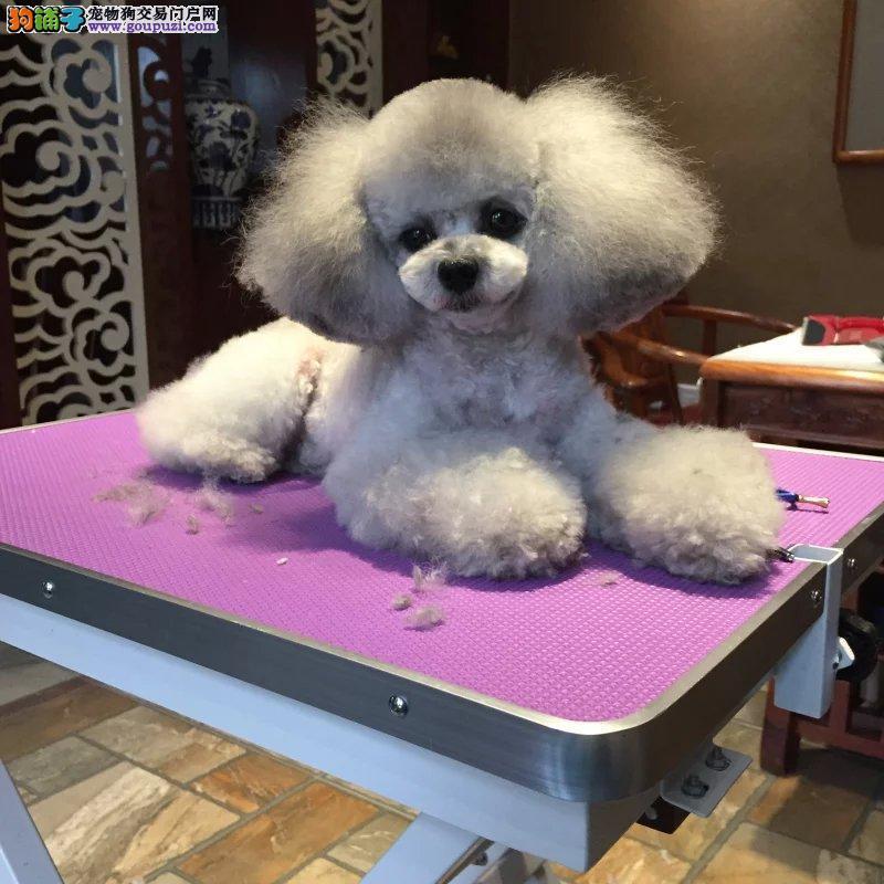 直销家养泰迪犬,泰迪宝宝 纯种泰迪犬健康可爱