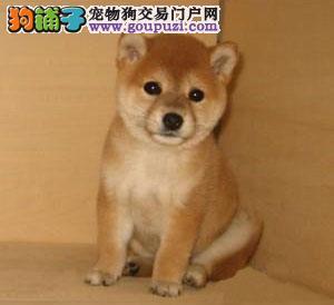 纯种小柴犬 专业柴犬繁殖赛级血统 健康品质保障