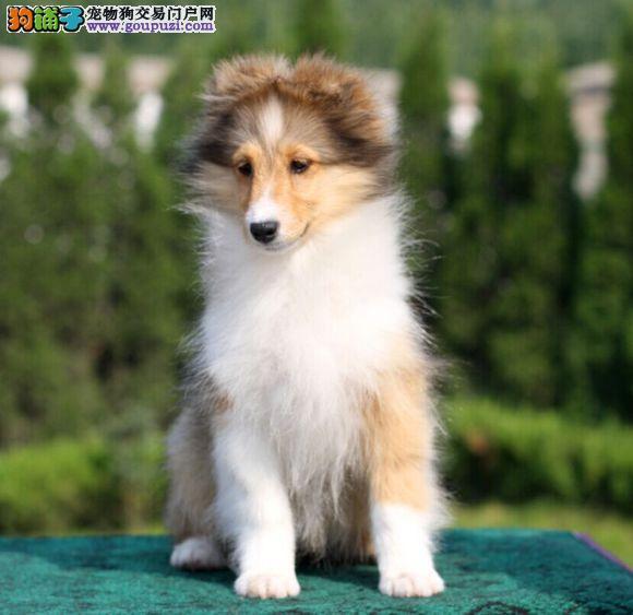正规狗场出售顶级喜乐蒂幼犬 血统证书芯片齐全