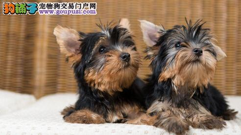 CKU注册犬舍 出售超可爱 约克夏宝宝