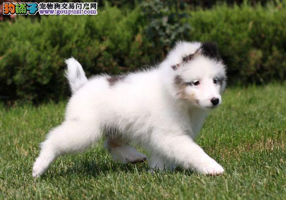 出售喜乐蒂幼犬品质好有保障一宠一证视频挑选
