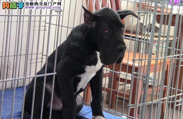 实体店热卖大丹犬颜色齐全喜欢加微信可签署协议