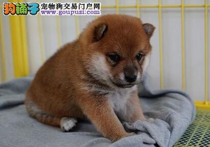 热卖柴犬宝宝 金牌店铺价位最低 当天付款包邮