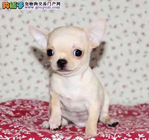 精品 吉娃娃 CKU国际犬舍 健康有保障市内可送
