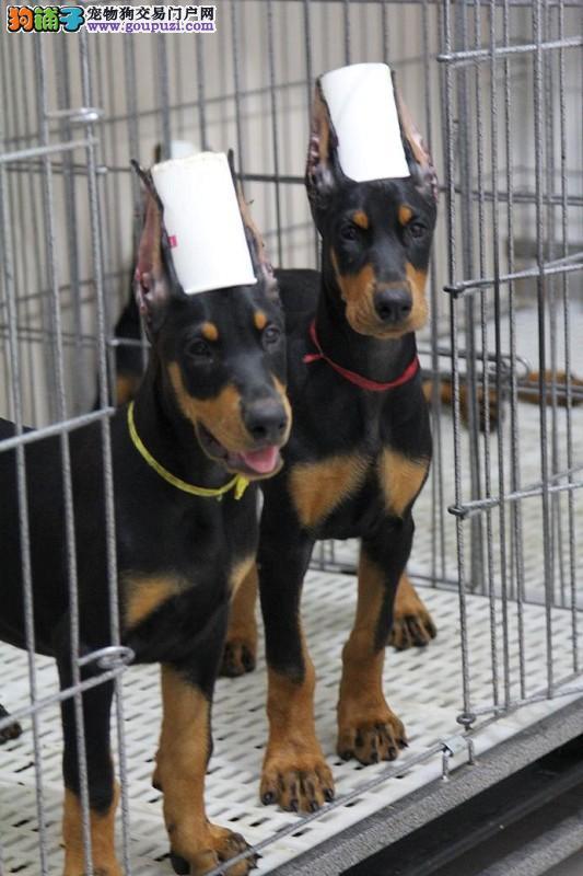 买狗请加微信 上门选购 杜宾