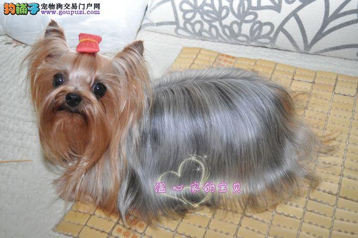 成都地区出售约克夏 成都哪里能买到约克夏 金头银背犬