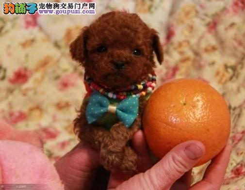 实体店热卖茶杯犬颜色齐全优惠出售中狗贩子勿扰