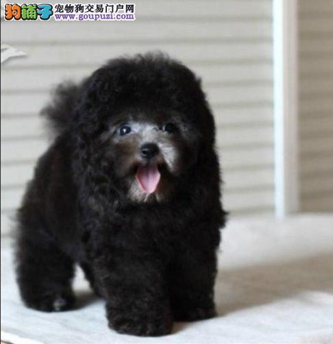 极品灰色红色泰迪CKU国际犬舍健康有保障可送货上门