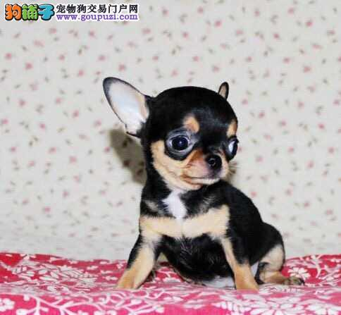 极品娃娃 苹果头金鱼眼纯种超小吉娃娃 成犬3斤