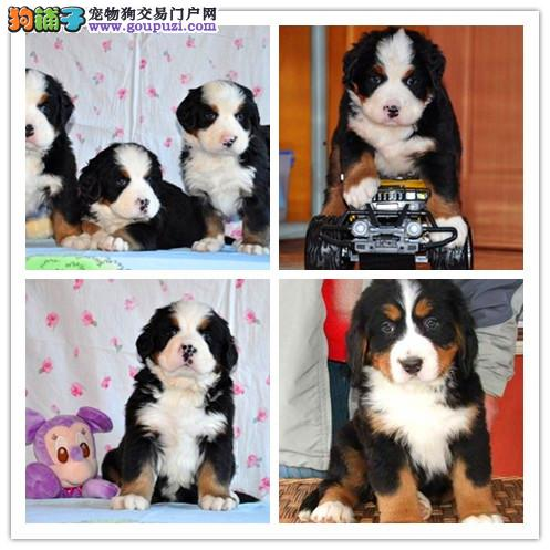 泉州哪里有卖大型犬的 泉州支持上门看狗请加微信咨询