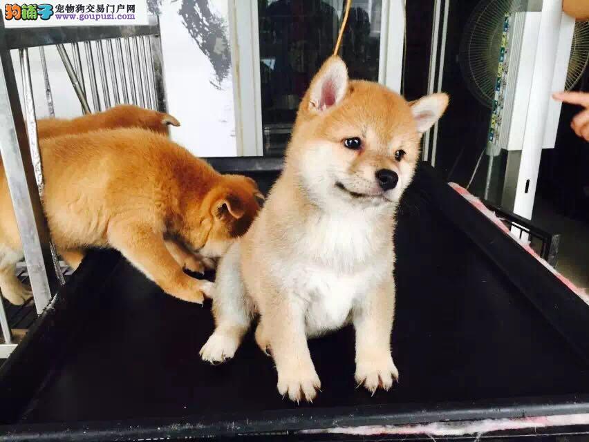 貌似秋田样子,的纯种柴犬,出售幼犬
