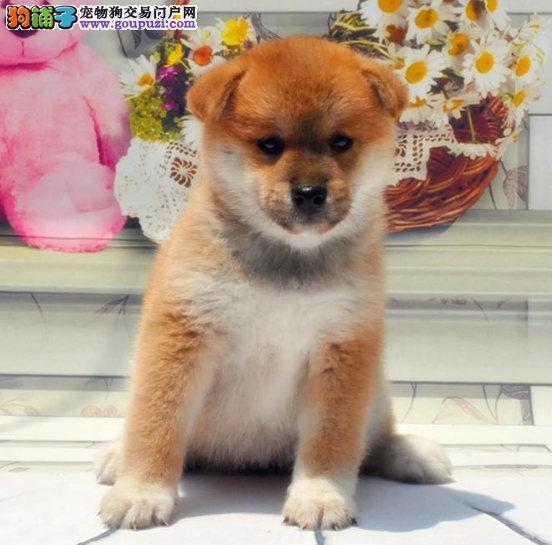 狗场直销纯种柴犬 多只可挑选 狗场包售后健康