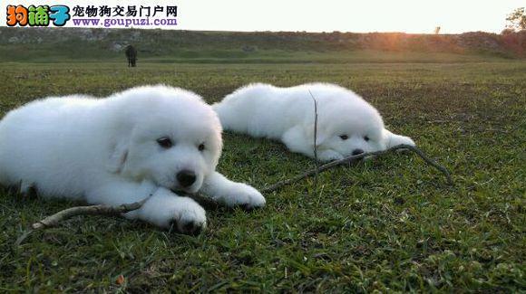 大白熊 巨型大白熊犬 纯种大白熊 欢迎您实地选购