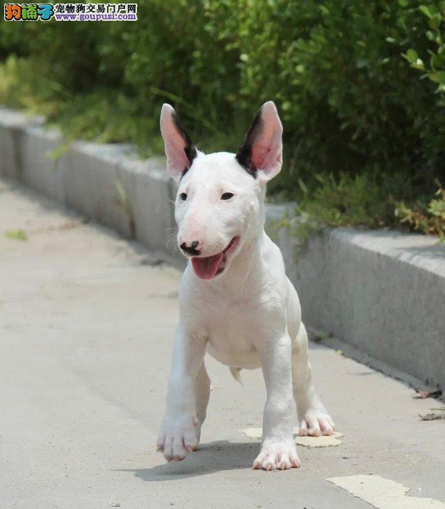 杭州出售极品牛头梗幼犬完美品相微信选狗直接视频