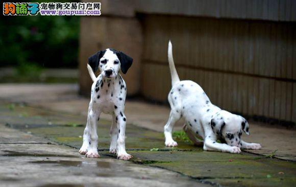 桂林出售极品斑点狗幼犬完美品相全国质保全国送货