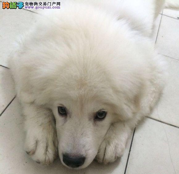 出售精品巨型大白熊 骨骼大 毛质好 可实地考察