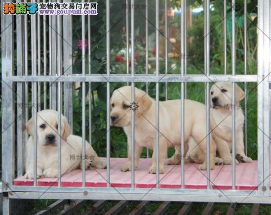博世犬舍 精品赛级拉布拉多幼犬 小七同款 真情推荐!