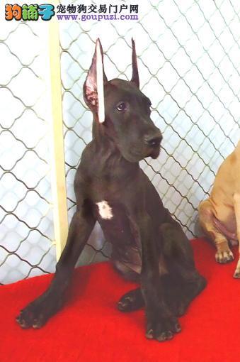 精品大丹犬幼犬一对一视频服务买着放心价格美丽品质优良