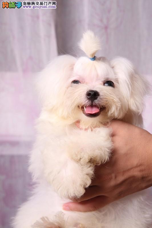 赛级品相马尔济斯幼犬低价出售当日付款包邮