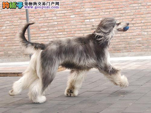 出售多种颜色贵阳纯种阿富汗猎犬幼犬签署各项质保合同