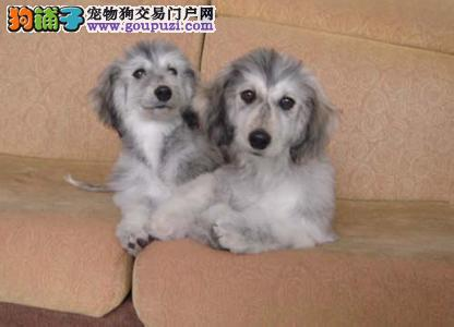 出售正宗血统优秀的阿富汗猎犬签订三包合同