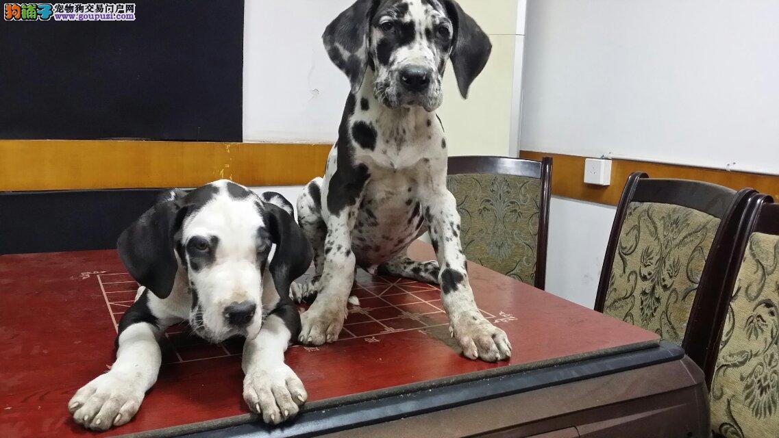 CKU认证犬舍 专业出售极品 大丹犬幼犬加微信送用品