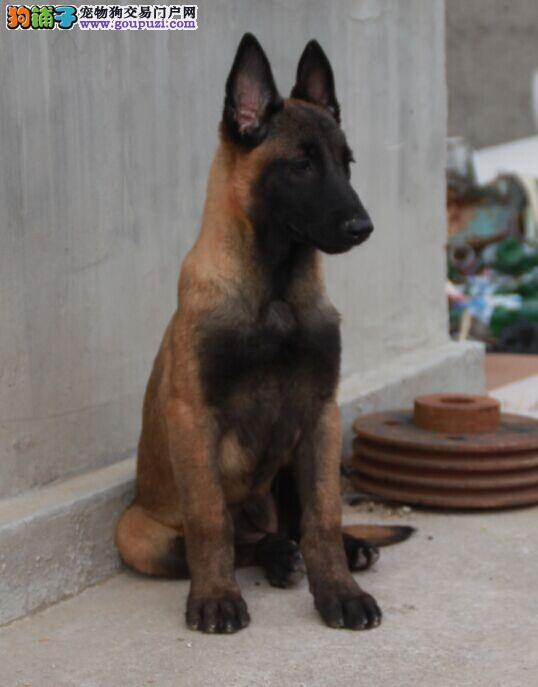 马犬,跳跃能力超强,敏捷聪明,专业繁殖