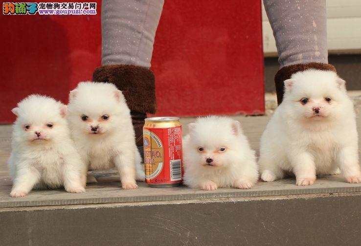 小白银狐犬 品相端正 毛色光滑成活率高
