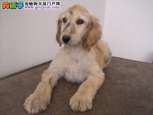 专业正规犬舍热卖优秀的阿富汗猎犬办理血统证书