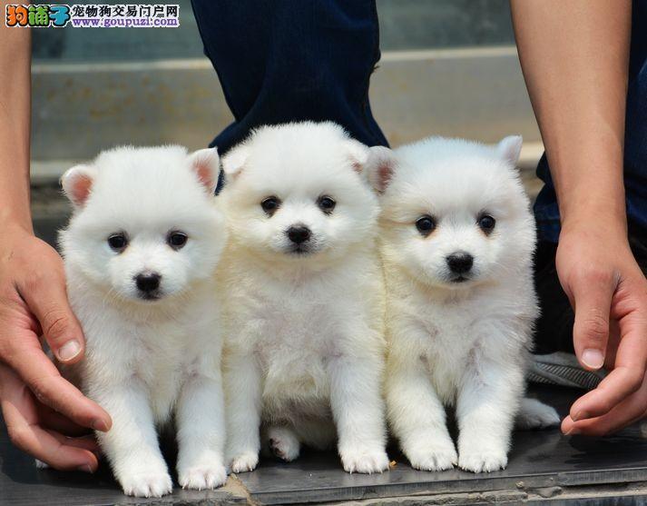 上海家养宠物狗繁殖超可爱小银狐,一周时间要的抓紧啦