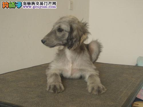 国外引进纯阿富汗猎犬 保证血统纯度 喜欢加微信