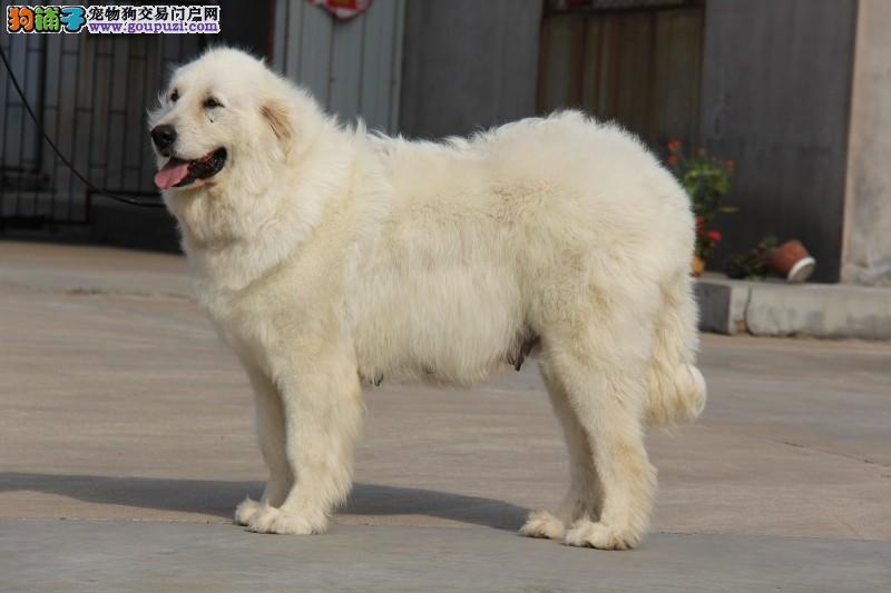 雪兽系赛级大白熊幼犬出售 骨骼大毛质好 多只幼犬待售