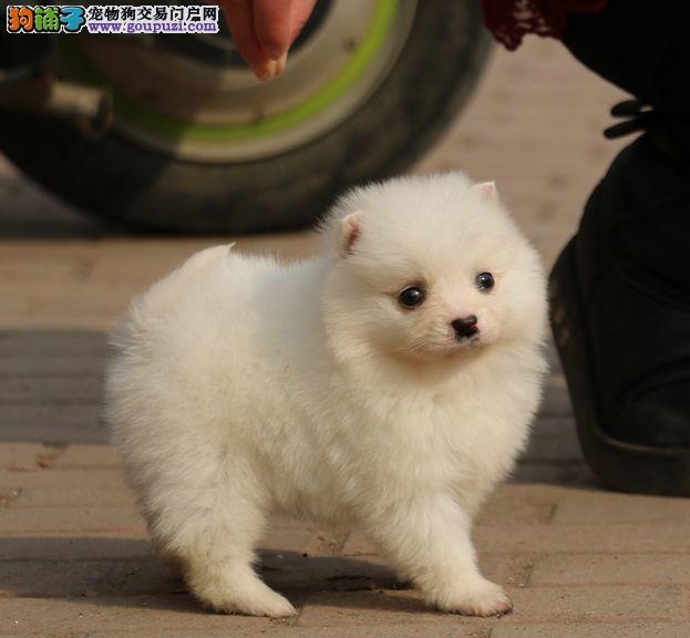 公母均有的郑州银狐犬找爸爸妈妈微信看狗可见父母
