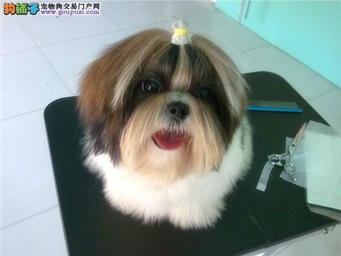 极品西施犬热销中、CKU认证血统纯正、购犬可签协议