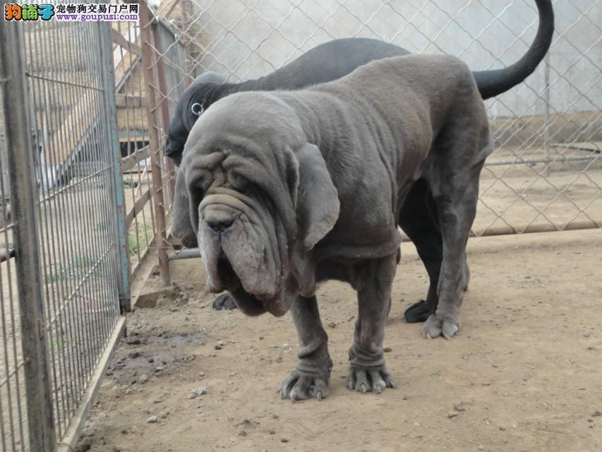 正规犬舍繁殖、诚信交易、纽波利顿犬、可签协议