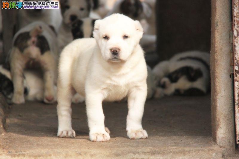 CKU认证犬舍出售高品质中亚牧羊犬包养活包退换