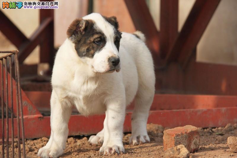 顶级中亚牧羊犬宝宝,三针齐全保健康,购买保障售后