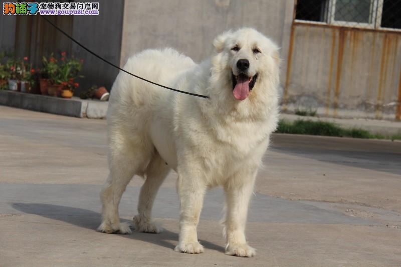 大白熊,犬舍常年繁殖,全国销售,终身质保