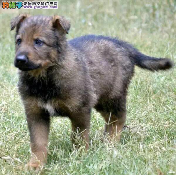 长沙自家繁殖昆明犬出售公母都有我们承诺售后三包
