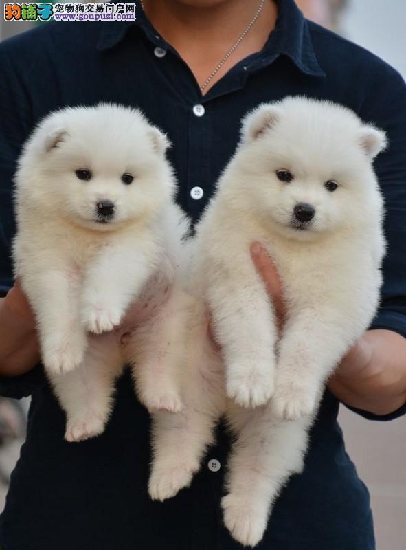 养殖基地出售纯种健康的银狐幼犬