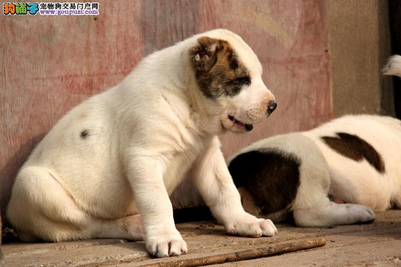 中亚牧羊犬幼犬出售中 金牌店铺价位最低 等您接它回家