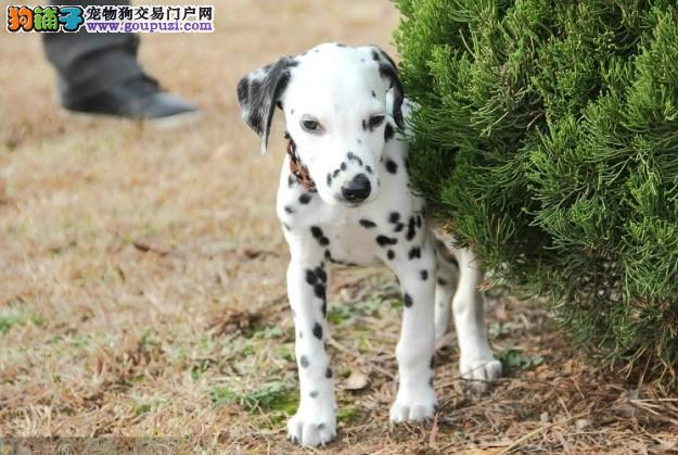 纯种斑点狗宝宝找主人爱狗人士优先狗贩勿扰