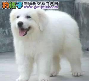 白熊幼犬/2-5个月都有/纯种健康签订质保协议