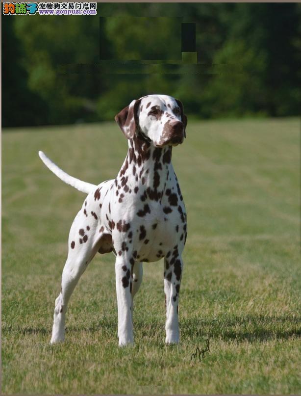 出售聪明伶俐连云港斑点狗品相极佳微信咨询视频看狗