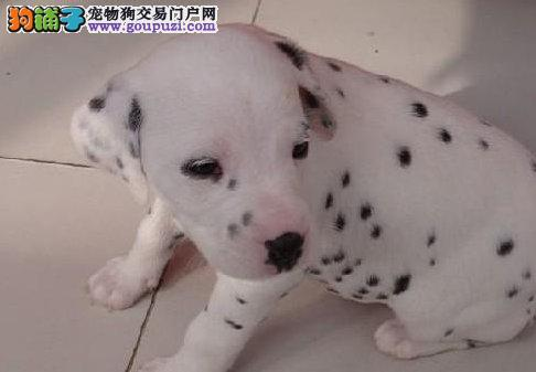 公母均有的淄博斑点狗找爸爸妈妈赛级品质血统保障