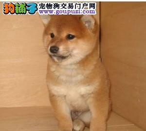 纯种柴犬保纯保健康CKU认证血统质量三包售后