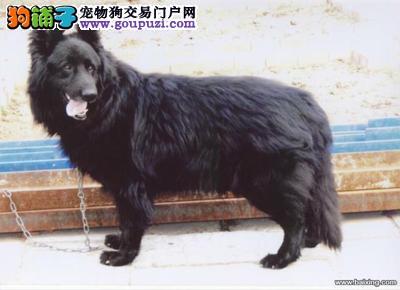 CKU认证犬舍出售高品质比牧喜欢它的快来
